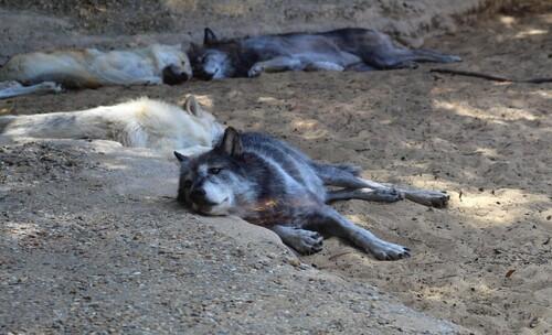 Loup de Makenzie