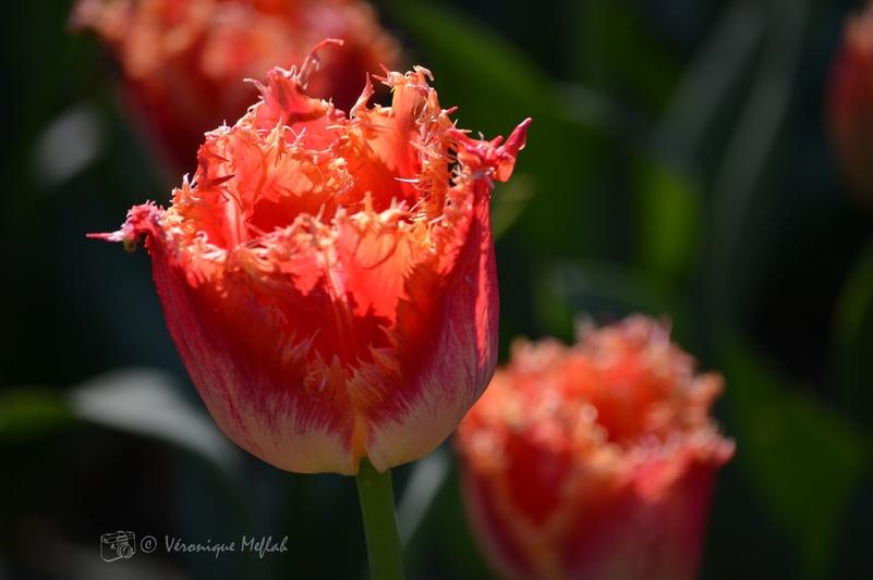 Parc Floral de Paris : la tulipe frangée