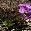 Primevère farineuse (Primula farinosa)