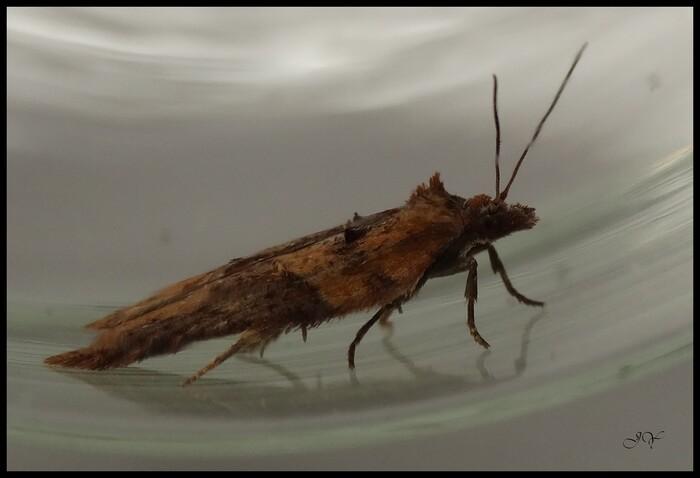 Acleris hastiana.