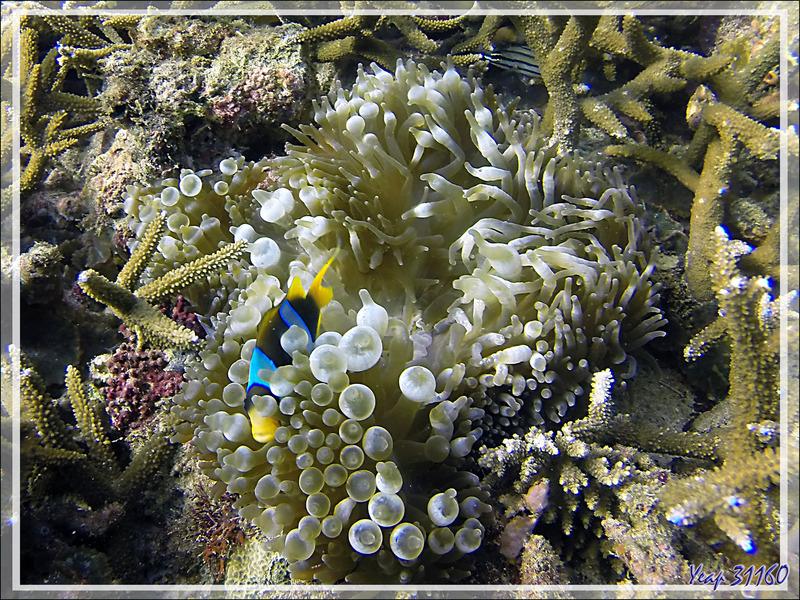 25/03/2018 : plongée sur le spot Les 2 Sœurs - Poisson-clown de Madagascar, Madagascar anemonefish (Amphiprion latifasciatus) - Tsarabanjina - Archipel Mitsio - Madagascar