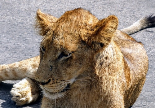 parc Krüger; le roi des animaux nous accueille