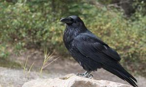 J'adore les pies et les corbeaux ...