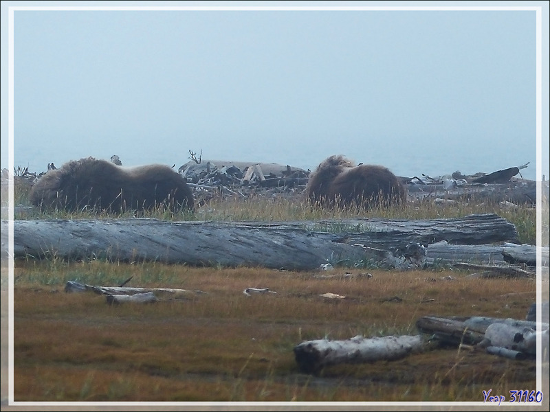 Observation de Bœufs musqués (Ovibos moschatus) - Pauline Cove - Herschel Island (Qikiqtaruk) - Yukon - Canada