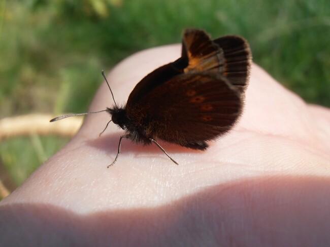 Un papillon, aux yeux marrons...