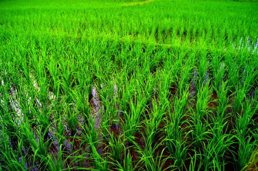 Laos: les rizières