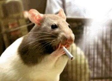 Rats sur GIFs. 80 images animées de ces rongeurs
