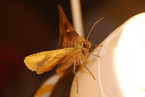 Autographa gamma - Noctuidae 1