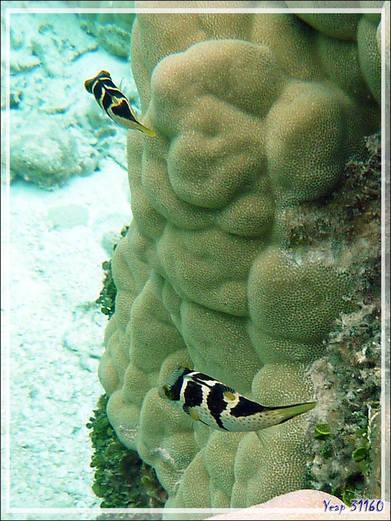 Canthigaster à selles, Valentinni's sharpnose puffer or Saddled pufferfish or Black saddled toby (Canthigaster valentini) - Atoll de Fakarava - Tuamotu - Polynésie française
