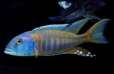 boccochromis