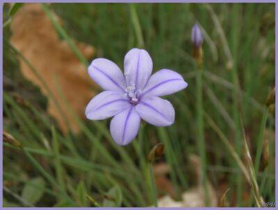 Aphyllanthe de Montpellier