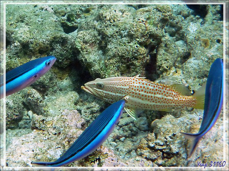Snorkeling : Fusilier à ligne olive, Fusilier tricolor, Dark-banded fusilier et Mérou élégant (Pterocaesio tile) - Moofushi - Atoll d'Ari - Maldives