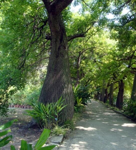 Jardin botanique de Palerme, l'arbre bouteille, 3 jpg