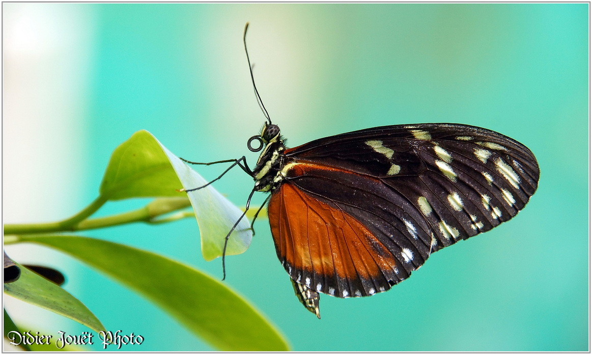 Hecalé / Heliconius hecale