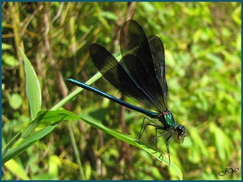 Calopteryx vierge.