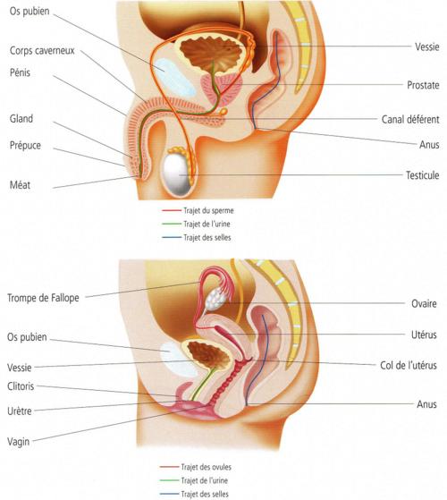 La reproduction humaine : Comprendre la fécondation et la vie du fœtus avant la naissance