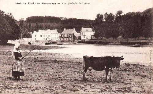 09 - Des vaches, cartes postales encore