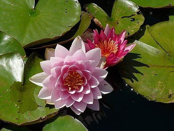 Jardin-du-Prahor-8-08-12-Nympheas-P1290953.JPG