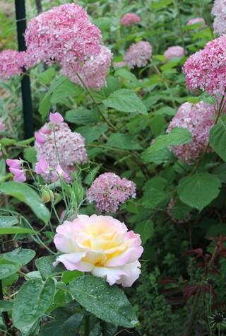 Hydrangea arborescens Pink Annabelle, rosier 'Mme Antoine Meilland'