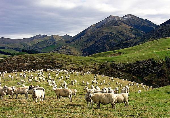800px-Whitecliffs_Sheep.jpg