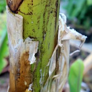 Zoom sur le pseudo-tronc du Bananier principal - 24 Juin 2014