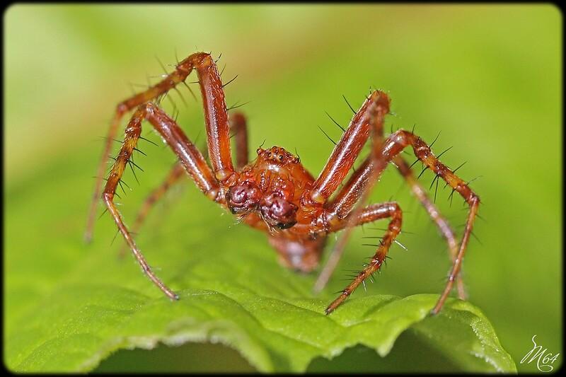 Araignée : Epeire alsine