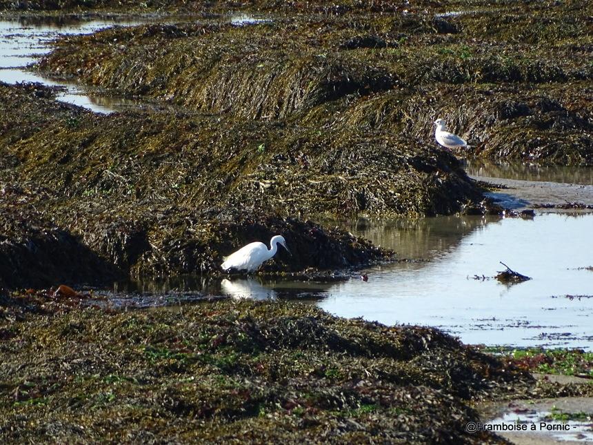 Les oiseaux de la Prée à la Plaine sur Mer - 44- Aigrette garzette