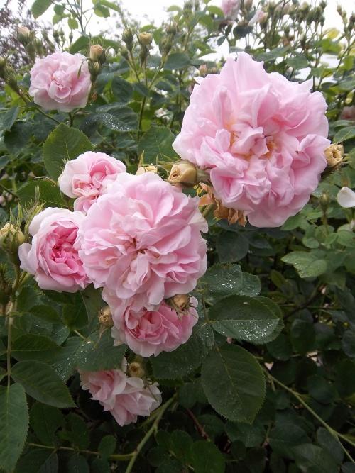les roses de Cloclo