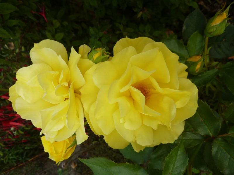 Les jaunes festoient ...