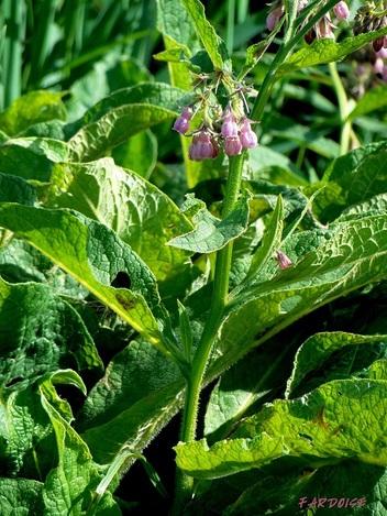 Quelle est cette plante, sauvage et cultivée, aux fleurs discrètes, mais caractéristiques ?