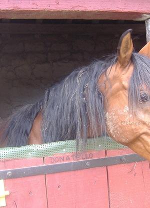 """Cheval Pur Sang Arabe ou Equus Ferus Caballus - Son nom """"Donatello"""""""