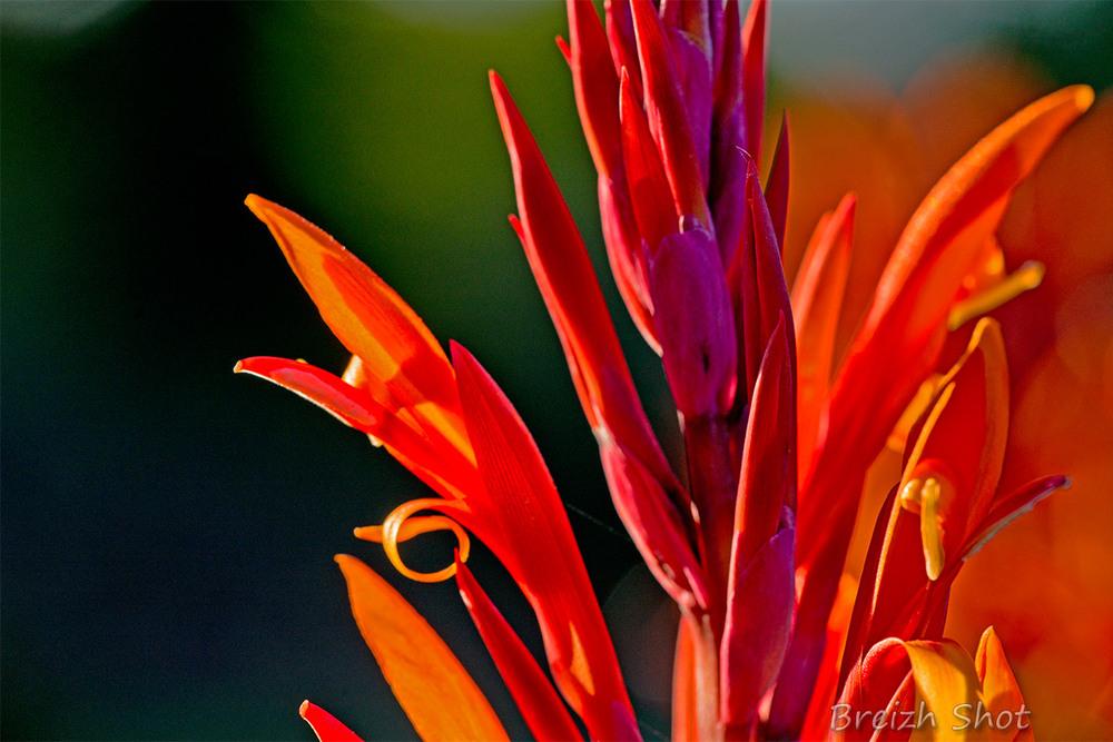 canna rouge - cœur de fleur