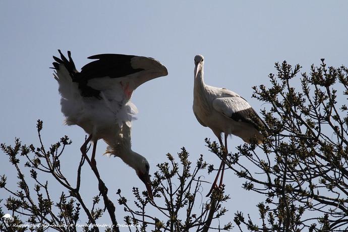 Cigogne blanche