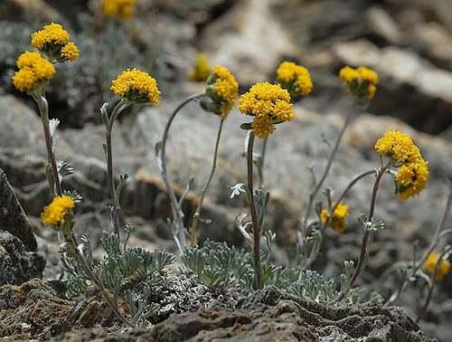 Fleurs sauvages : Génépi