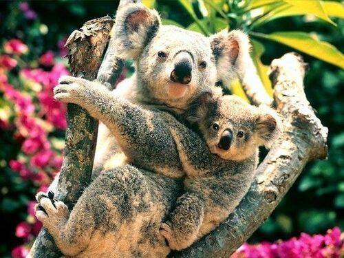 Les koalas sont en train de s'éteindre