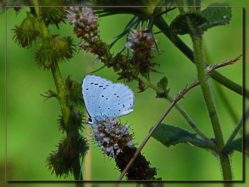 papillon_azur