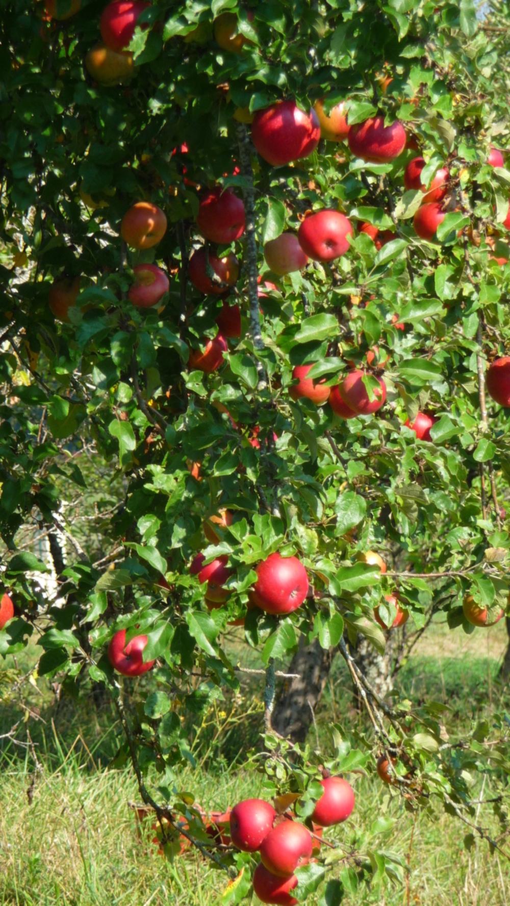 bientôt la cueillette des pommes,