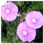 Plante vivace 003