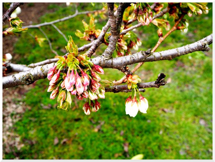 Cerisier du Japon. Jardin des Plantes. Paris