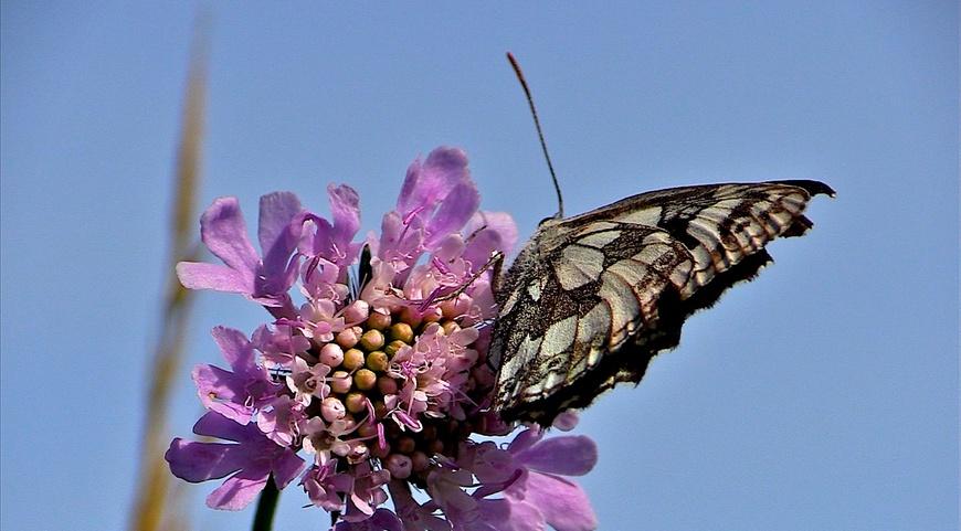 Les papillons de l'été (5) Le demi-deuil