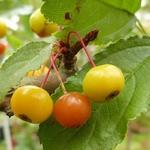 La Feuillerie, suite de la visite...pépinière mela rosa - malus transitoria