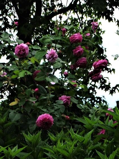 Le temps des roses (part 4)