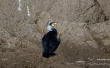Grand cormoran - p131