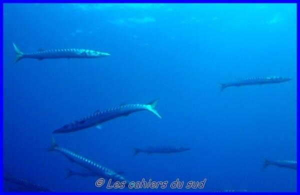barracudas--640x480-.jpg