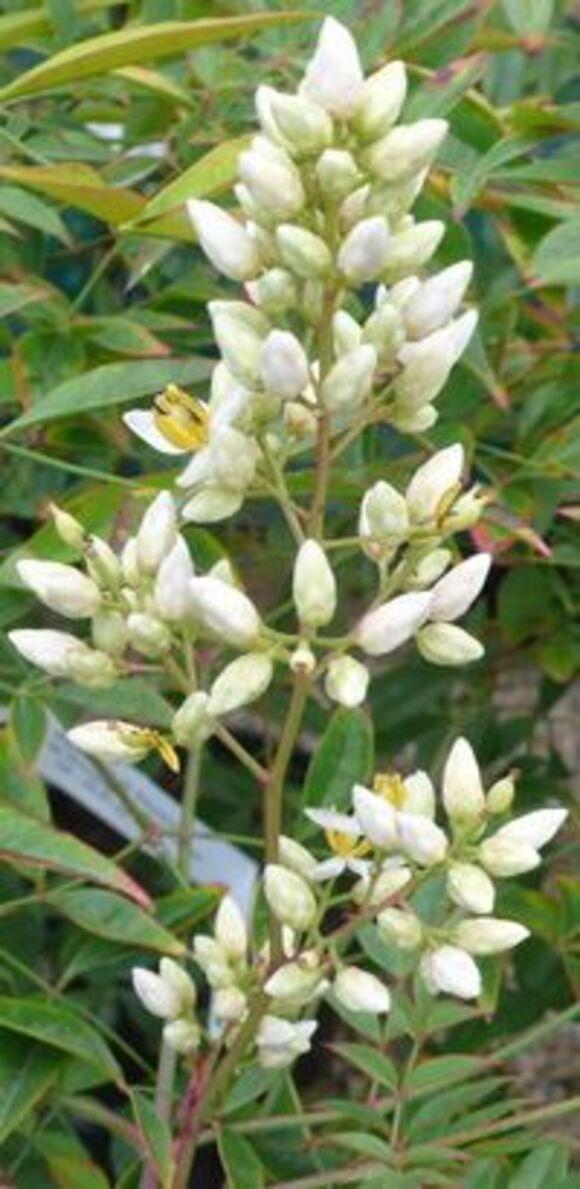 Le Bambou sacré aux feuilles persistantes et aux belles baies rouges