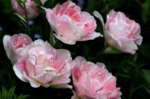 Tulipes Angélique4