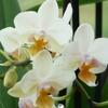 orchidée 001.JPG