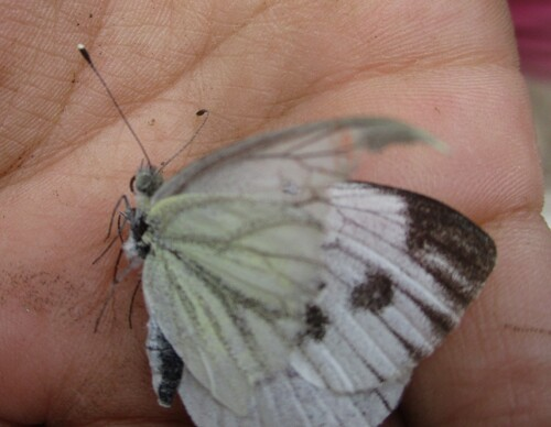 (Insectes) Papillons