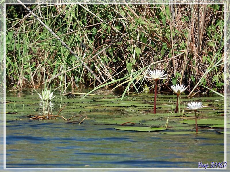 Nénuphars - Safari nautique - Parc National de Chobe - Botswana
