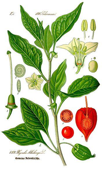 Plantes sauvages et gastronomie...